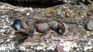 Pacific oysters on navigation beacon