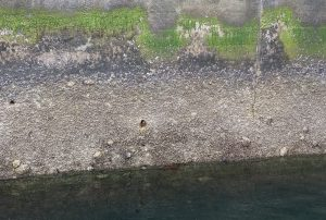 Pacific oysters on concrete wall next to Berth 17
