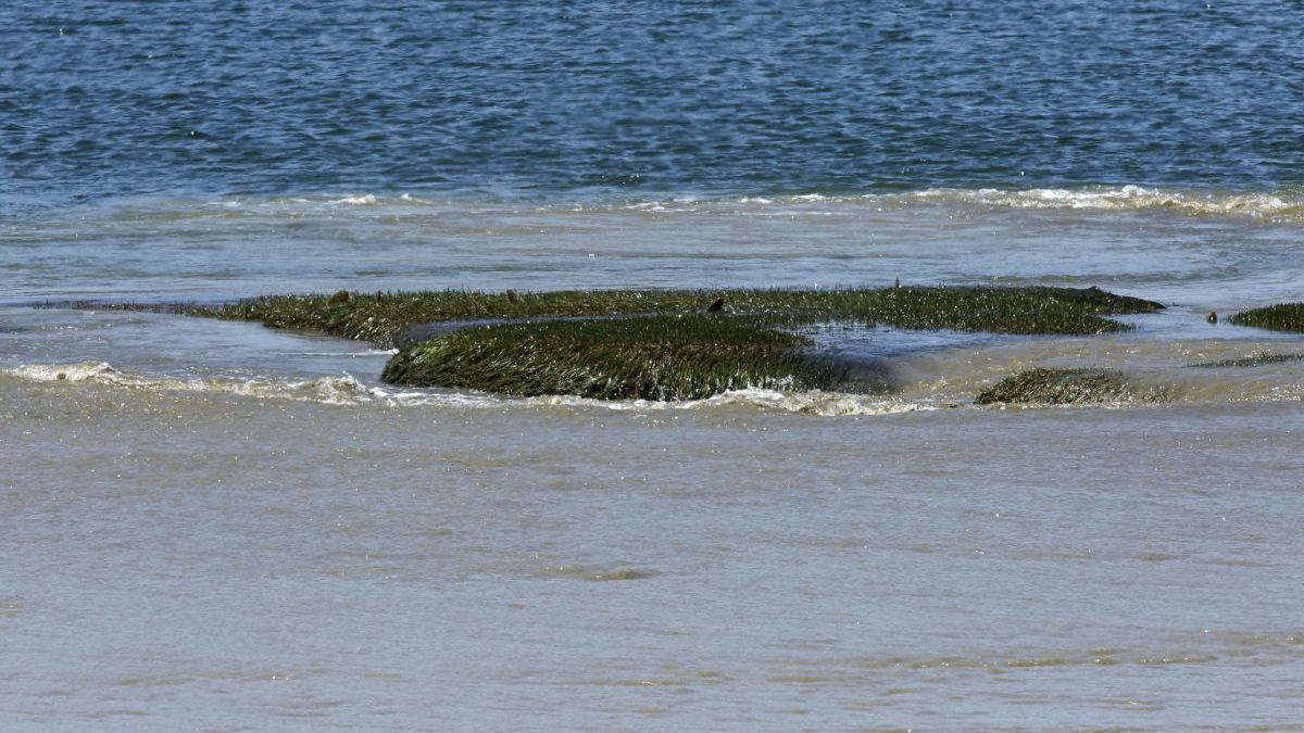 Zostera (seagrass) visible with lower tide in Port RIver; photo by Kym Murphy