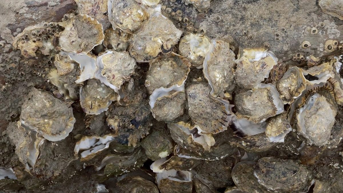 Pacific oyster shells show the oysters have died