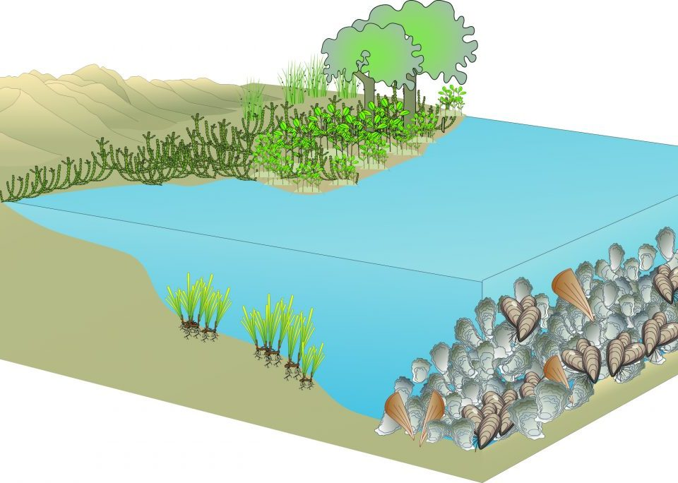 Living Shoreline incorporating mangroves, seagrass, shellfish reefs