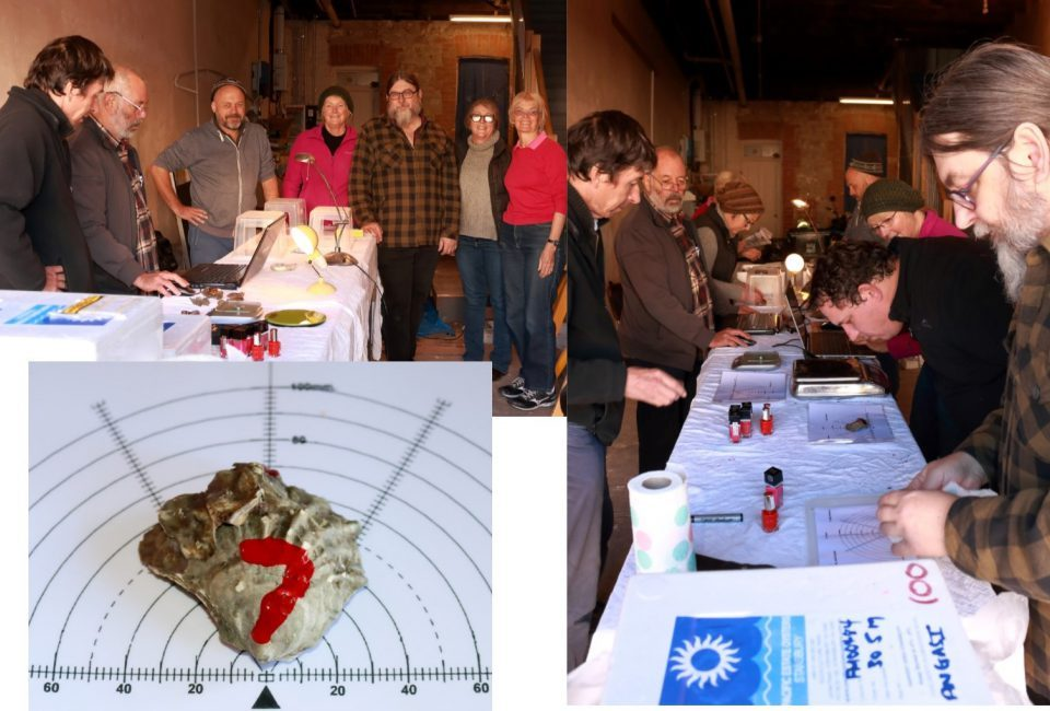 Measuring and weighing native oysters