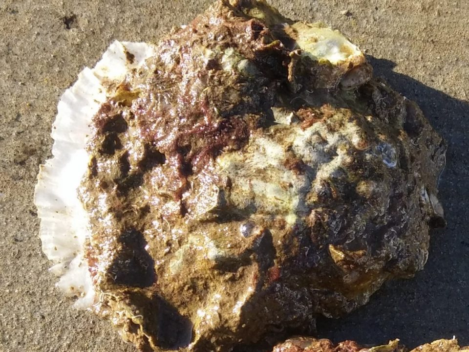 New white shell growth on native oyster at Crusing Yacht Club 6.3.18