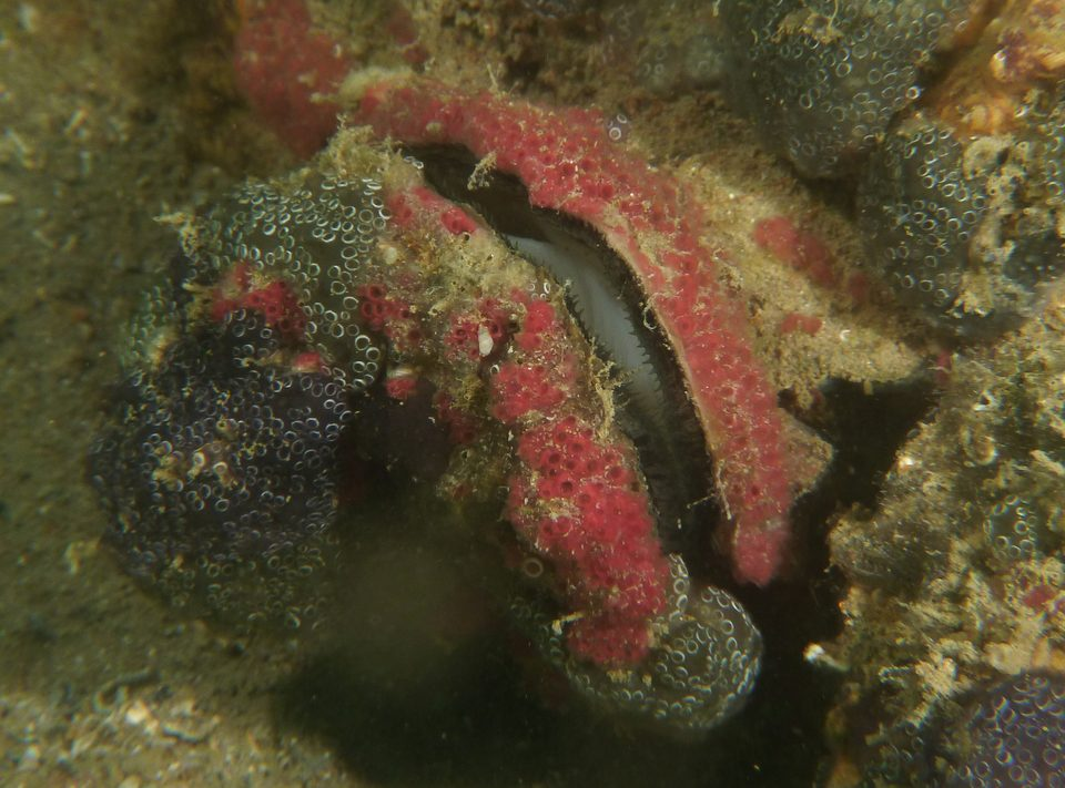 photo of open Ostrea angasi at Torrens Island