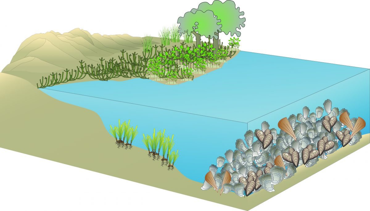 Image showing Living Shoreline for Port RIver; drawing by Peri Coleman