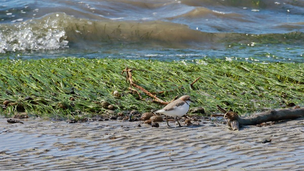 Seagrass visible in Port River at low tide, at northern end of Mutton Cove Conservation Reserve, with red-capped plover 28 August 2018