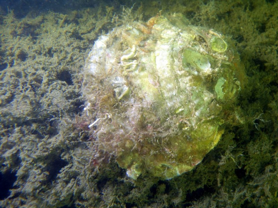 Native oyster on reef, returned by ECF, filtering River water